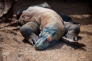 Sleeping Komodo Dragon